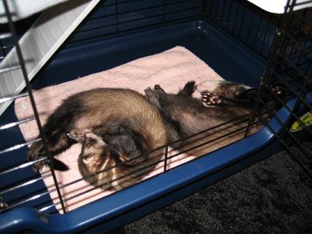 ケージで眠る2フェレ
