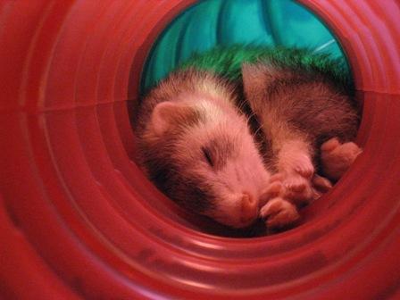 チューブの中で寝るチロ